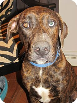 Moose | Adopted Dog | China, MI | Doberman Pinscher/Pit ...