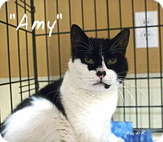 Domestic Shorthair Cat for adoption in Ocean City, New Jersey - Amy