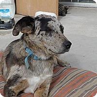 Adopt A Pet :: Pinta - San Diego, CA