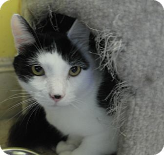 Domestic Shorthair Cat for adoption in Monroe, Connecticut - Lucifer
