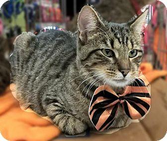 Domestic Shorthair Kitten for adoption in Lyons, Illinois - Jacquard