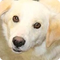 Adopt A Pet :: DOLLY(BEYOND ADORABLE PUPPY!! - Wakefield, RI