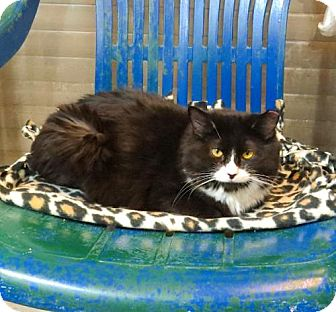 Domestic Mediumhair Cat for adoption in Lakewood, Colorado - Tarriful