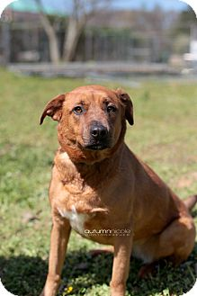 Labrador Retriever Mix Dog for adoption in Jackson, Tennessee - Cagney