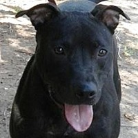 Pit Bull Terrier/Labrador Retriever Mix Dog for adoption in Yukon, Oklahoma - Piper