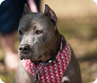American Pit Bull Terrier Mix Dog for adoption in Snellville, Georgia - Joanna