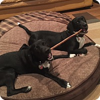 Adopt A Pet :: Hunter and Blaze - Alexandria, VA