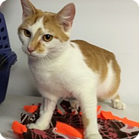 Domestic Shorthair Cat for adoption in Albion, New York - Titanium