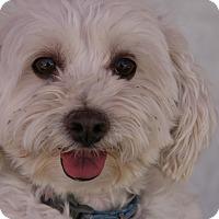 Adopt A Pet :: Lily 2 - Las Vegas, NV