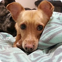 Chihuahua/Italian Greyhound Mix Dog for adoption in Phoenix, Arizona - Chewy