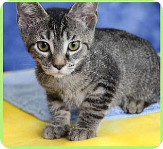 Domestic Shorthair Kitten for adoption in South Bend, Indiana - Mya Kate