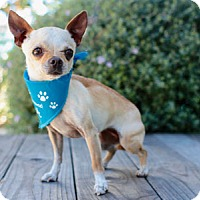 Chihuahua Dog for adoption in Pacific Grove, California - Lilly Chi