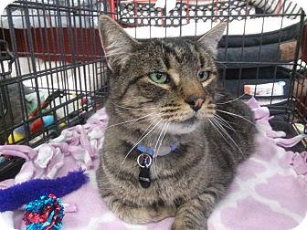 Domestic Shorthair Cat for adoption in Alamo, California - The Colonel