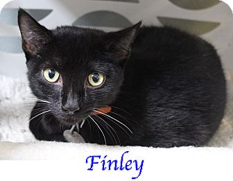 Domestic Shorthair Kitten for adoption in Bradenton, Florida - Finley