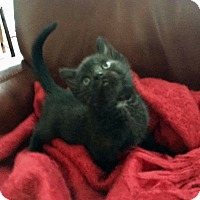 Domestic Shorthair Kitten for adoption in Hoffman Estates, Illinois - Spooky