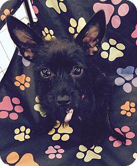 Schnauzer (Miniature)/Terrier (Unknown Type, Small) Mix Puppy for adoption in Lodi, California - Daisy