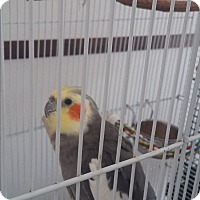 Adopt A Pet :: Papette - Punta Gorda, FL