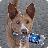Australian Shepherd Mix Dog for adoption in Winters, California - Ginger