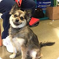 Adopt A Pet :: Shirley - Long Beach, CA