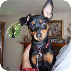 Miniature Pinscher Dog for adoption in Springvale, Maine - KyAnn