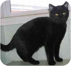 Domestic Shorthair Cat for adoption in Strathmore, Alberta - Big Black Cat