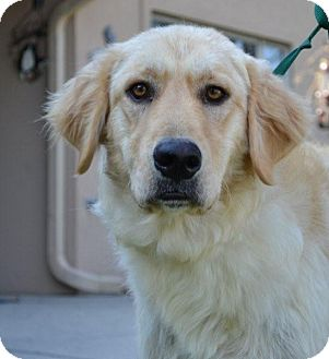 Golden Retriever/Great Pyrenees Mix Dog for adoption in Foster, Rhode Island - Sophia