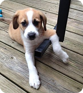 Beagle/Shepherd (Unknown Type) Mix Puppy for adoption in Richmond, Virginia - Spanky