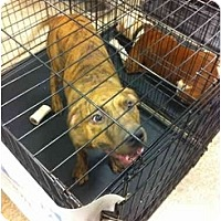 American Pit Bull Terrier Mix Dog for adoption in Blanchard, Oklahoma - Tanner
