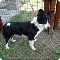 Adopt A Pet :: Cupcake - Arlington, TX