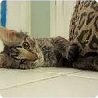 Adopt A Pet :: Sheldon (one eye) - Arlington, VA