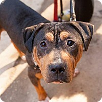 Adopt A Pet :: Jax (adoption pending) - Fredericksburg, VA