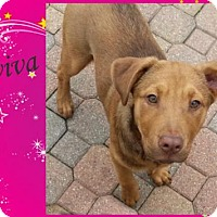 Adopt A Pet :: Aviva - of Nikki and her 6 stars - Dallas, TX