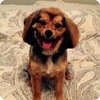 Adopt A Pet :: Farrah - Sacramento, CA