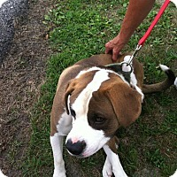 Adopt A Pet :: Brown and white - Upper Sandusky, OH