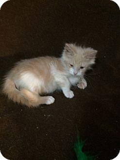Domestic Shorthair Kitten for adoption in Houston, Texas - Warren