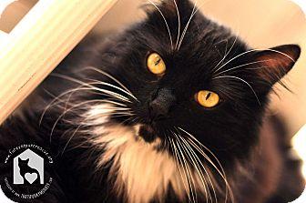 Domestic Longhair Cat for adoption in Santa Clarita, California - Dallas
