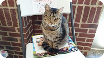 Domestic Shorthair Cat for adoption in Maryville, Tennessee - Peta