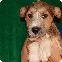Adopt A Pet :: Dango - Oviedo, FL