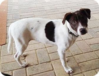 border collie jack russell terrier mix drakey adopted puppy lawrenceville ga border collie 3182