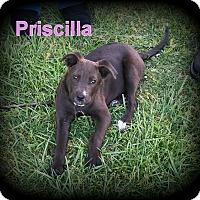 Adopt A Pet :: Priscilla - Denver, NC