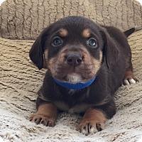 Adopt A Pet :: Ruger - Waldorf, MD