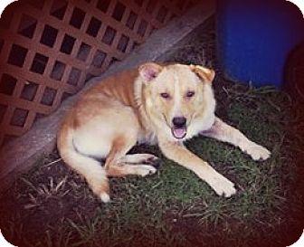 Australian Shepherd/Australian Cattle Dog Mix Dog for adoption in Cleveland, Oklahoma - Stanley