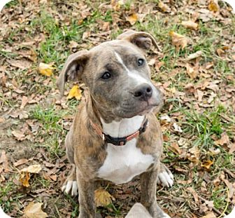 Staffordshire Bull Terrier Mix Puppy for adoption in Troy, Illinois - Glenda Fostered (Kristin)