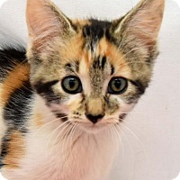 Domestic Shorthair Kitten for adoption in Greenfield, Indiana - Donna