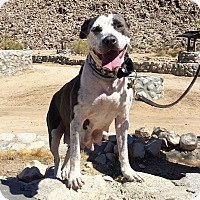 American Pit Bull Terrier/American Staffordshire Terrier Mix Dog for adoption in santa monica, California - Rio
