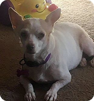 Chihuahua/Terrier (Unknown Type, Small) Mix Dog for adoption in Elyria, Ohio - Sunshine
