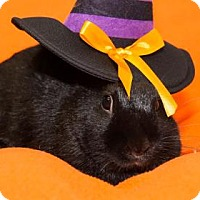 Netherland Dwarf Mix for adoption in Lowell, Massachusetts - Muggles