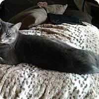 Adopt A Pet :: lapis lazuli - San Jose, CA