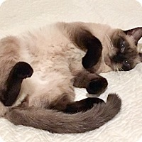 Siamese Cat for adoption in Brooklyn, New York - Angel, Declawed Siamese Sweetheart