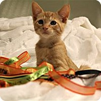 Domestic Shorthair Kitten for adoption in Lincoln, California - Catsinova